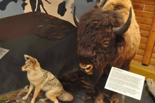 MacBride Museum taxidermy (2)