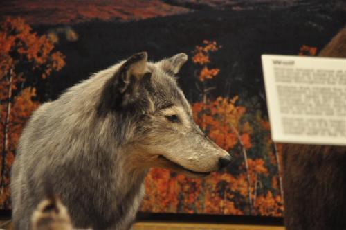 MacBride Museum taxidermy (3)