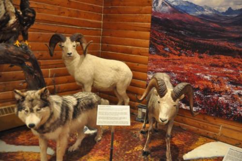 MacBride Museum taxidermy (8)