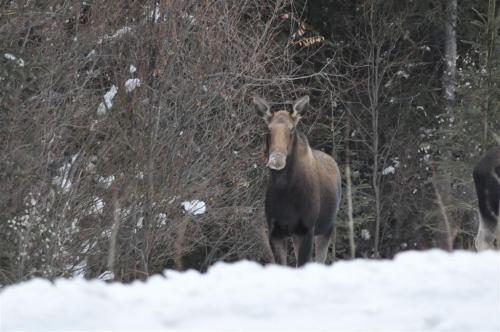 Moose (Large)