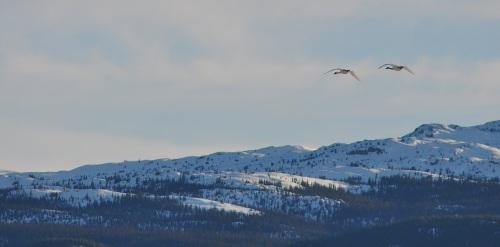 Swan haven