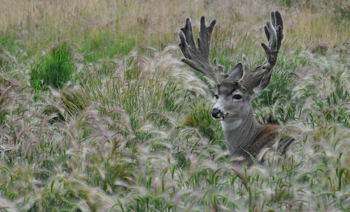 muledeer_in grass
