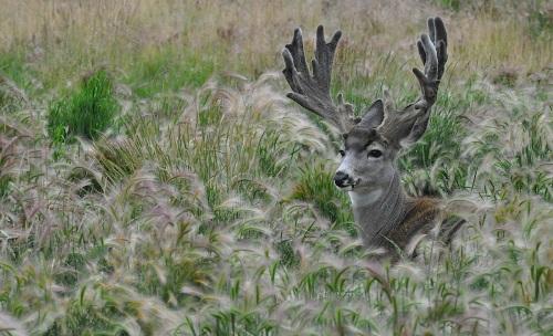 muledeer_in grass