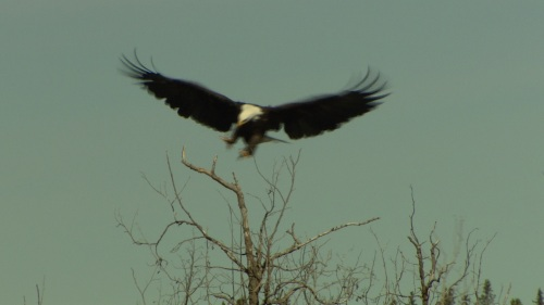 bald eagle - full wingspan