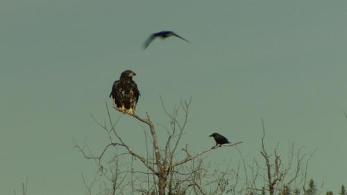 eagle - ravens