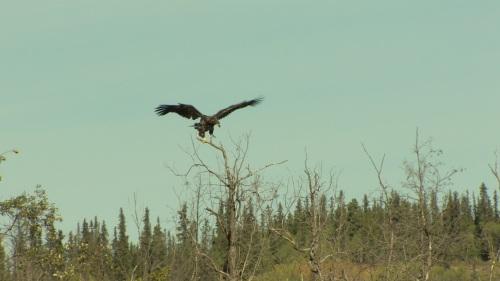 eagle - wingspan