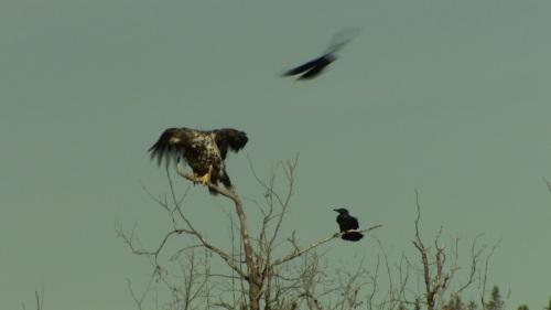ravens - bothering