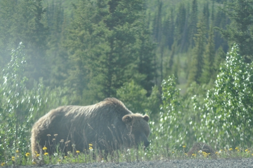 Grizzly bear Carcross Road May 28 2015