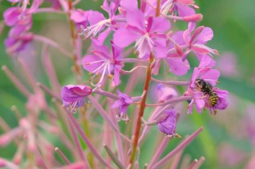 DSC_0093 bee 1 (Medium)
