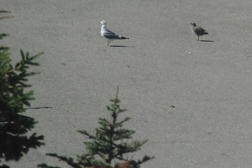 Junior seagull - cropped parking