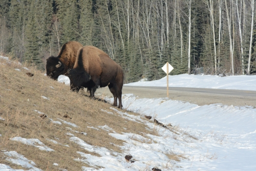 Bison outside Lower Post BC April 2018 Philippe Morin (1)