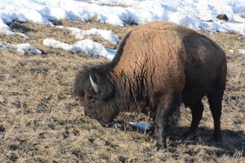 Bison outside Lower Post BC April 2018 Philippe Morin (2)